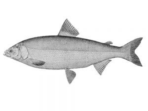 Беринговоморский омуль